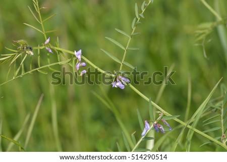 Slender Tare or Vetch - Vicia parviflorasyn. V. laxiflora & V. tenuissima #514290514