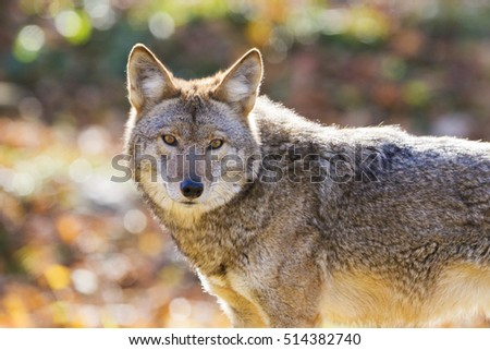 Coyote in autumn golden light