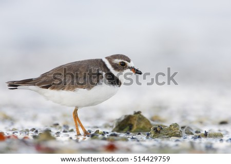 Semipalmated plover (Charadrius semipalmatus) on the beach, Curry Hammock State Park, Florida, USA #514429759