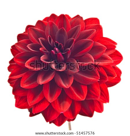 Red dahlia closeup #51457576