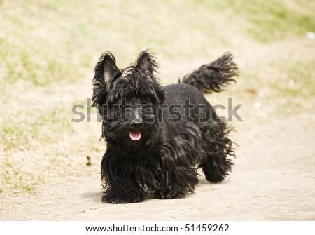 scottish terrier #51459262