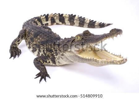 Siamese crocodile,Crocodylus siamensis Royalty-Free Stock Photo #514809910