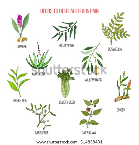 Herbs to fight arthritis pain: turmeric, eucalyptus, boswellia, aloe vera, willow, celery, tea, mistletoe, ginger, cat claw. Hand drawn botanical vector illustration #514838401