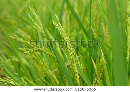 Close up of green paddy rice. Blur Paddy rice field in the morning  #515095366