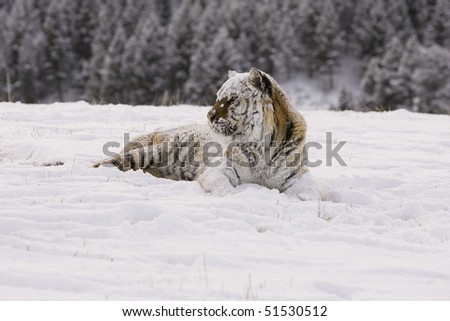 Siberian Tiger (Panthera tigris altaica), Controlled Conditions, Montana, Captive #51530512