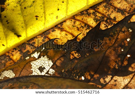 Chestnut tree leaf macro (Castanea sativa) close-up, rear and front flash light. Horizontal. Pattern, texture, background. Piedmont. Italy. #515462716