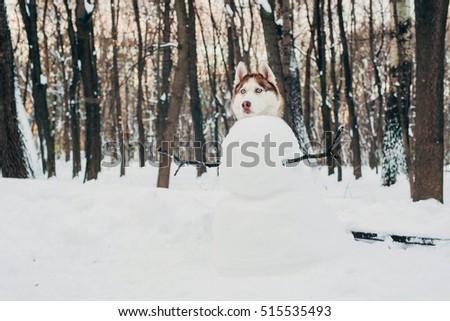 siberian husky dog as a snowman. New Year winter concept