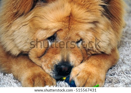 A sweet cute Chow Chow dog playing with a toy #515567431