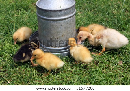 Baby duck #51579208