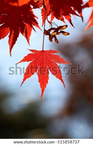 Maple leaf back light #515858737