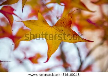 Japanese Maple - Acer palmatum ssp Amoenum. Brightly colored autumn leaves of Japanese maple #516100318