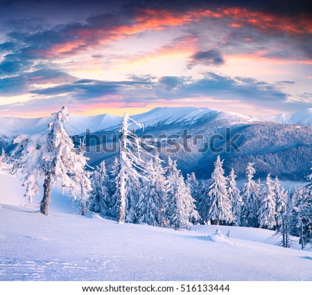 Beautiful winter sunrise in Carpathian mountains with snow covered fir trees. Colorful outdoor scene, Happy New Year celebration concept. Artistic style post processed photo.