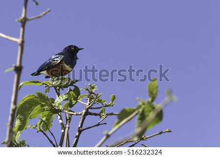 Colorful superb starling bird in Tanzania