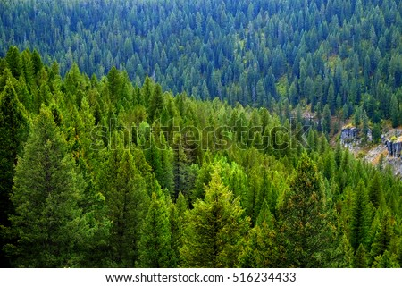 Forest of green pine trees on mountainside in autumn with colors and beauty #516234433