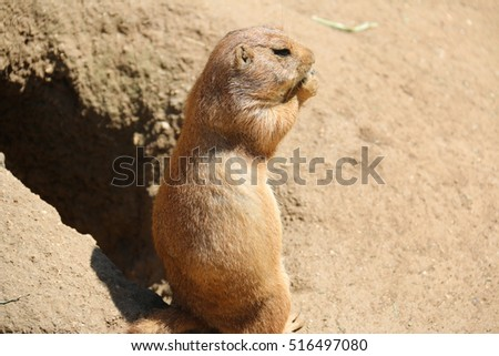 Prairie dogs are herbivorous burrowing rodents found primarily in North America. #516497080