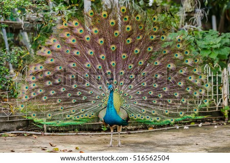 Peacock. Close up of peacock showing its beautiful feathers. Beautiful peacock. male peacock displaying his tail feathers. Spread tail-feathers of peacock are dating. Peacock closeup with Feather open #516562504