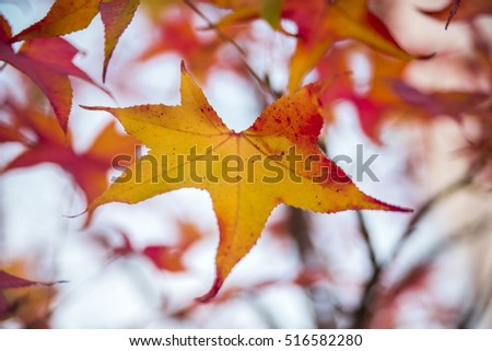 colorful red autumn leaves in tree. Oh momiji - Acer amoenum. Japanese Maple - Acer palmatum ssp Amoenum #516582280