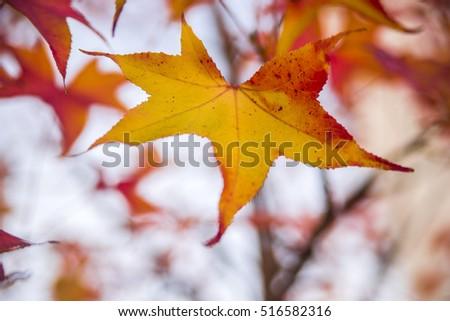 Brightly colored autumn leaves of Japanese maple Osakazuki. Acer palmatum Osakazuki. Autumn leaves of Japanese maple Osakazuki. Acer palmatum Osakazuki. #516582316