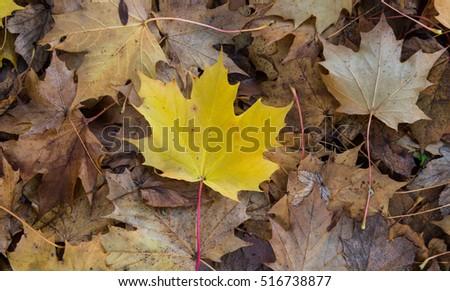 Yellow Autumn maple leaf #516738877