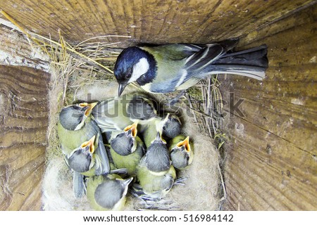 Parus major. The nest of the Great Tit in nature. Russia. Russia, the Ryazan region (Ryazanskaya oblast), the Pronsky District. #516984142