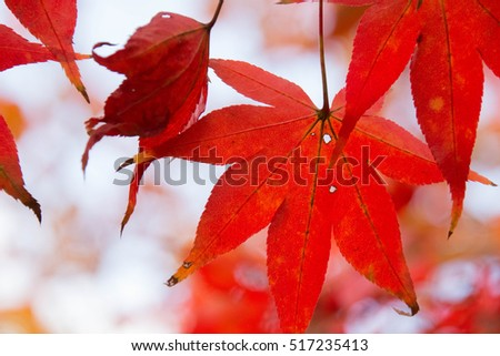 Red maple #517235413