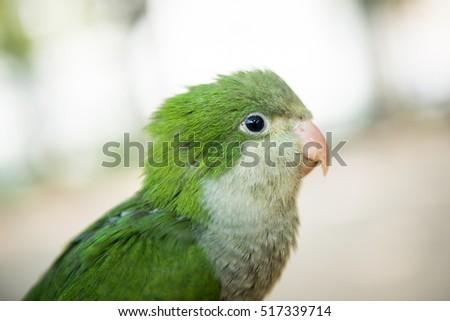 Monk parakeet #517339714