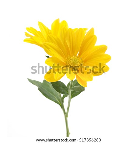 yellow flowers of chrysanthemum on a white background #517356280