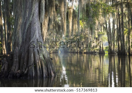 Swamp bayou scene of the American South featuring bald cypress trees and Spanish moss in Caddo Lake, Texas