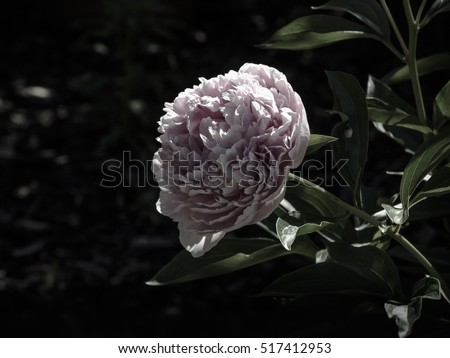 Big pink peony flower in bloom #517412953