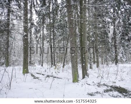 Winter snowy forest. Eastern Europe #517554325