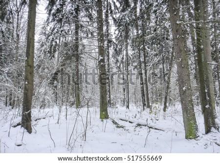 Winter snowy forest. Eastern Europe #517555669