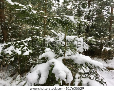 The snow on the spruce tree in the forest  #517635529