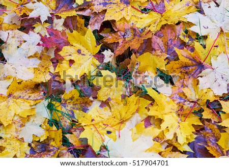 Colorful autumn leaves #517904701