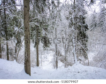 Winter forest in cold Russia #518079907
