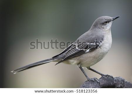 Mockingbird in Louisiana