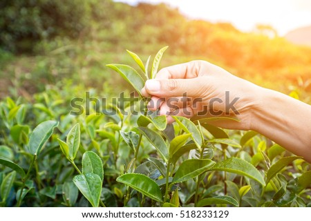 The farmer beautiful people form indian Asian woman working and  picking tea leaf in farm tea plantation agriculture. Girl fresh nature  background #518233129