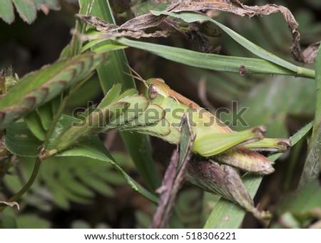Grasshopper on the grass #518306221
