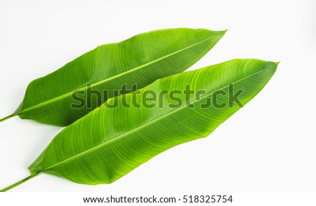 Banana green leaves isolated on white ,banana green leaves from tropical. #518325754