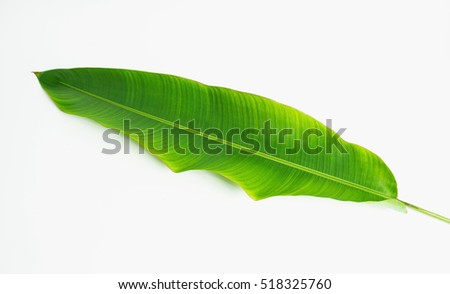 Banana  green leaves isolated on white , banana green from tropical. #518325760