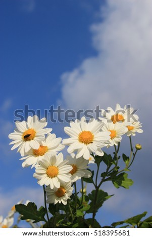 white little daisy flowers under the blue sky and clouds #518395681