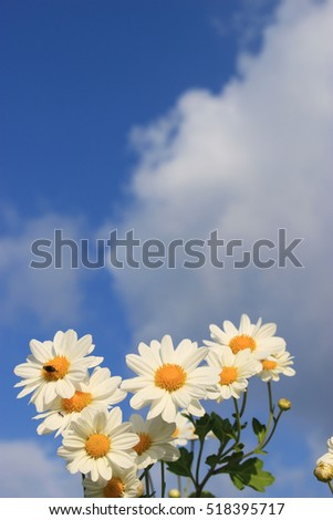 white little daisy flowers under the blue sky and clouds #518395717