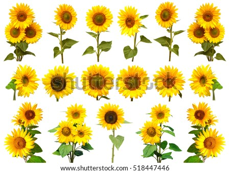 Sunflowers collection on the white background. Yellow flower. Seeds oil. Flat lay, top view. Bio. Eco #518447446