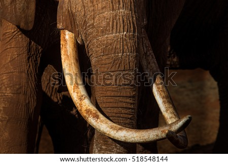 Tusks of African elephant cow #518548144