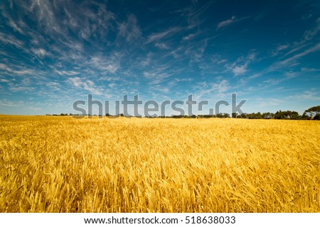 Field of Golden wheat under the blue sky and clouds #518638033