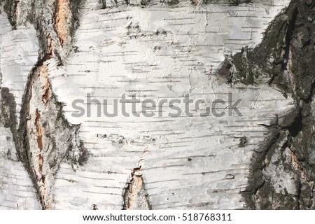 birch bark texture natural background paper close-up / birch tree wood texture / birch tree bark / pattern of birch bark / birch bark closeup / natural birch bark background / birch bark #518768311