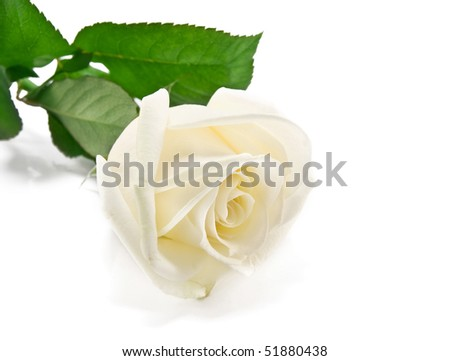white rose is isolated on a white background #51880438