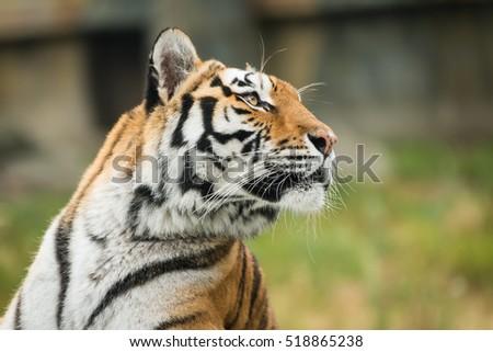 Tiger, tigre, bengal tiger #518865238