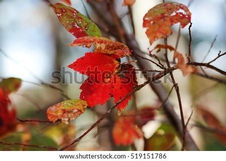autumn leaves  #519151786