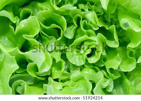 Fresh green Lettuce salad #51924214