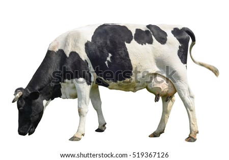 Funny cute cow isolated on white. Talking black and white cow. Funny curious cow. Farm animals. Cow, standing full-length in front of white background, Pet cow on white. Royalty-Free Stock Photo #519367126